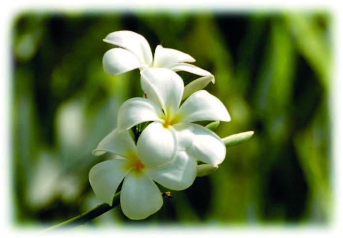 ไฟล์:flower ลาว.jpg